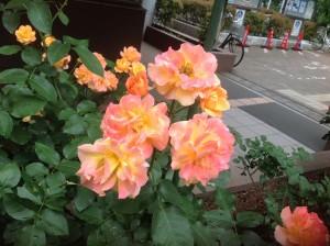 アンネのバラ(アンネ・フランクの形見)