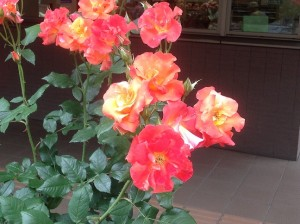 今年春のアンネの薔薇1