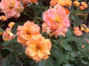 今年春のアンネの薔薇2