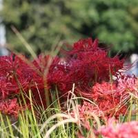 赤が印象的な彼岸花